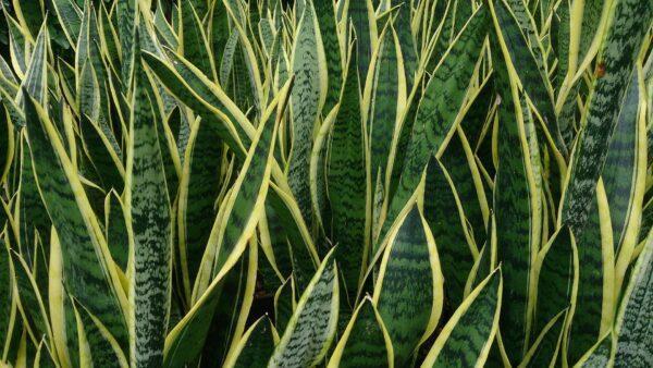 Sansevieria spp Snake Plant