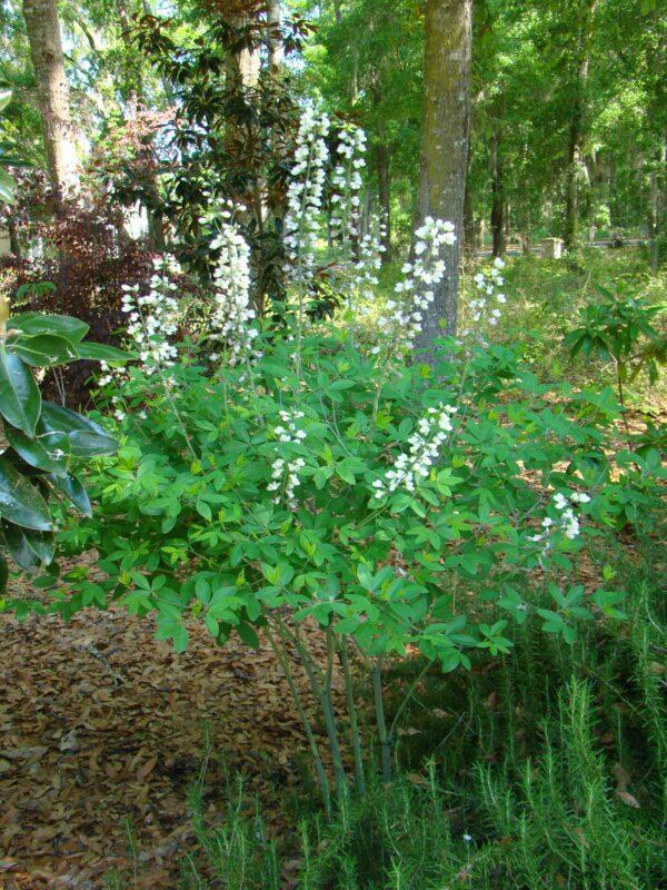 Baptisia alba White Wild Indigo