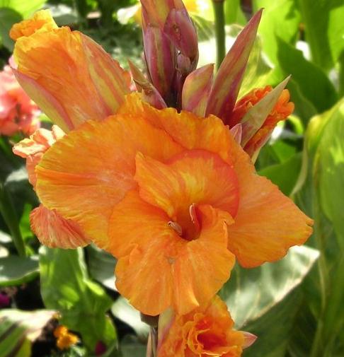 Canna'Bengal Tiger' Canna Lily