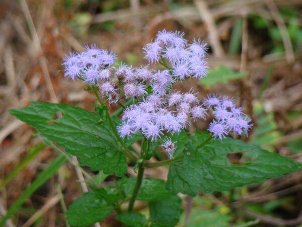 Conoclinium coelestinum Blue Mist Flower