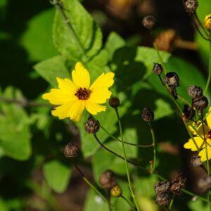 Coreopsis linifolia Savannah coreopsis