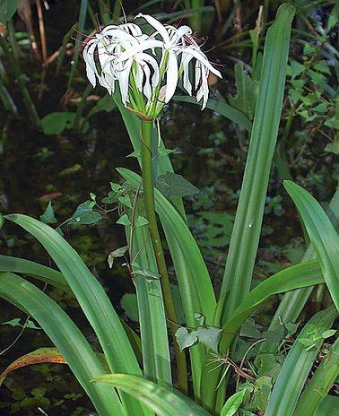 Crinum americanum Crinum Lily