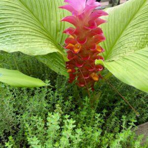 Curcuma sps. Hidden Ginger