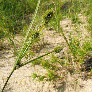 Cyperus retrorsus Pine Barren Flatsedge
