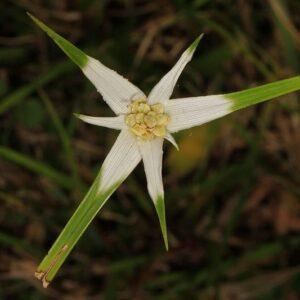 Dichromena colorata Star Sedge