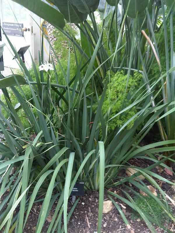 Dietes iridioides African Iris
