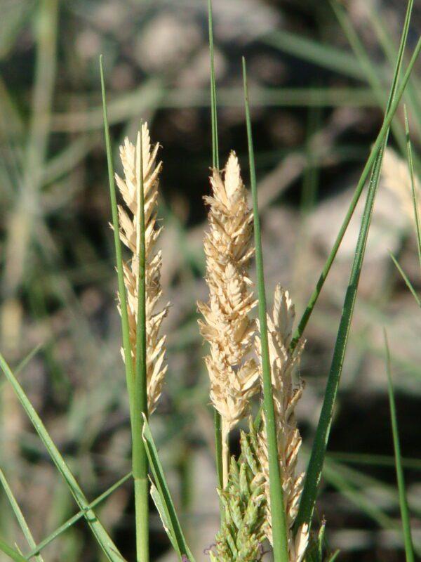 Distichlis spicata Saltgrass