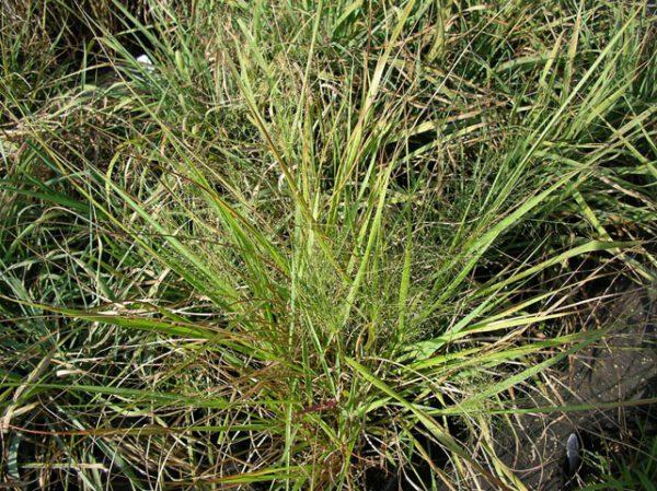 Eragrostis spectabilis Purple Lovegrass