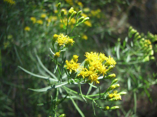 Euthamia caroliniana Slender Goldentop