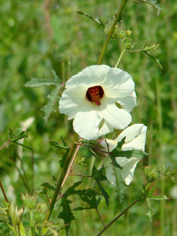 Hibiscus aculeatus Pineland Hibiscus