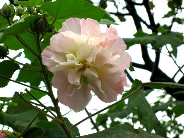 Hibiscus mutabilis Confederate Rose
