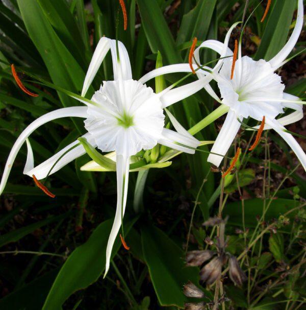 Hymenocallis latifolia Spider Llly