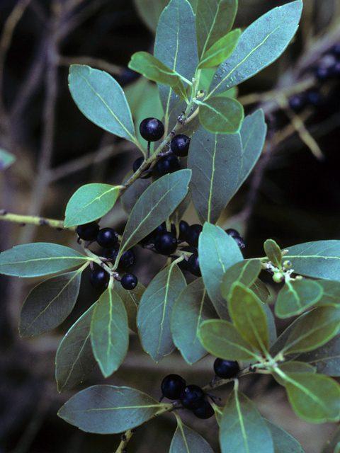 Ilex glabra Inkberry