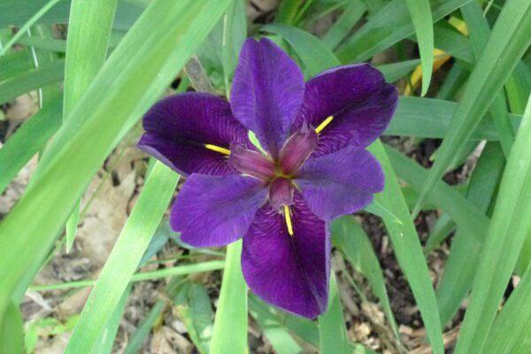 Iris ser. Hexagonae Louisiana iris