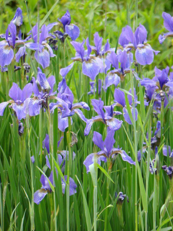 Iris virginica Southern Blue Flag