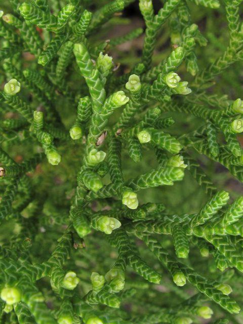 Juniperus silicicola Southern Red Cedar