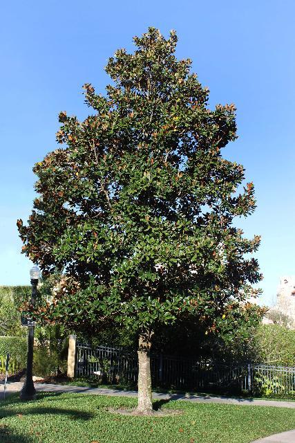 Magnolia grandiflora Southern Magnolia