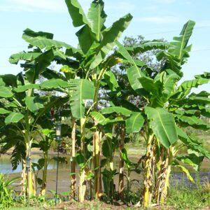 Musa acuminata Banans