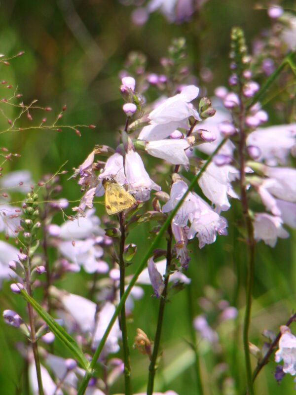 Physostegia virginiana Fall Obedient Plant