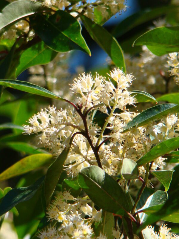 Prunus caroliniana Cherry Laurel