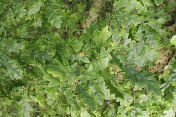Quercus spp. Mixed native Oaks