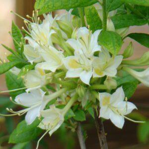 Rhododendron alabamense Alabama Azalea