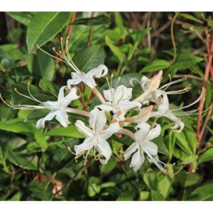 Rhododendron atlanticum Sweet Azalea