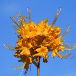 Rhododendron austrinum Florida Azalea