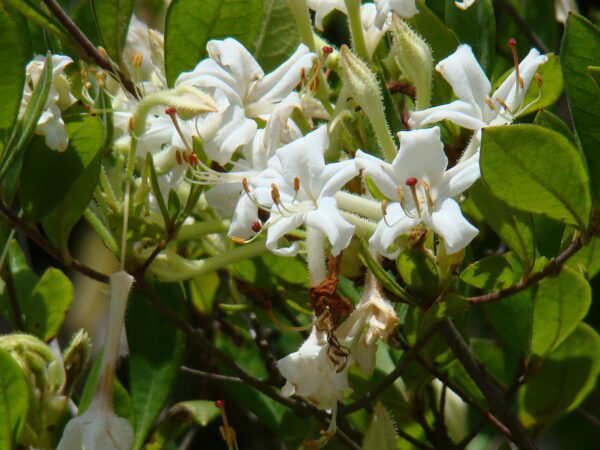 Rhododendron viscosum Swamp Azalea