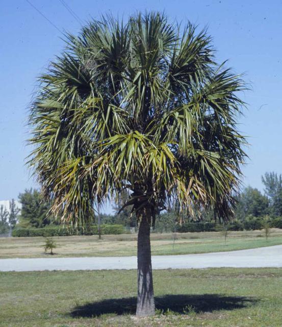 Sabal palmetto Cabbage Palm