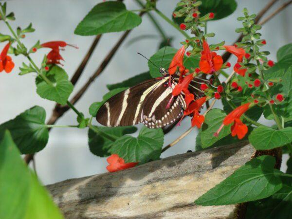 Salvia coccinea Scarlet Sage
