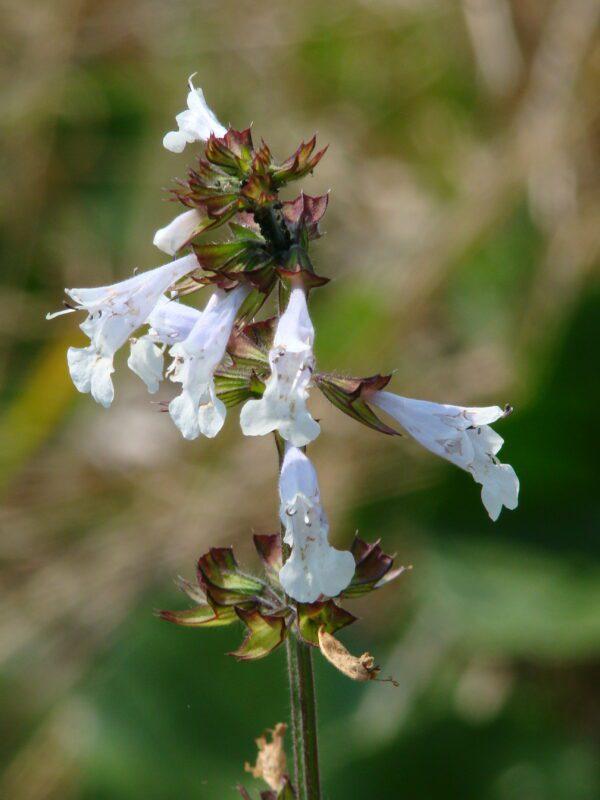 Salvia lyrata Lyre Leaf Sage
