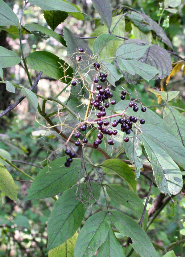 Sambucus canadensis Elderberry