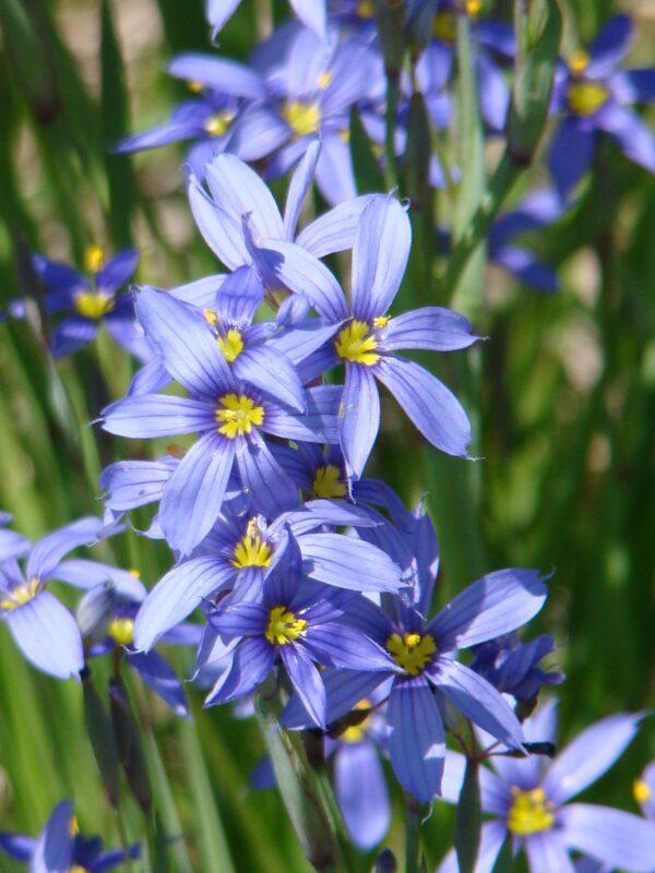 Sisyrinchium angustifolium Blue Eyed Grass