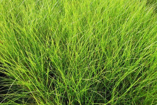 Spartina patens Saltmeadow Cordgrass