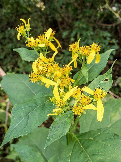 Verbesina occidentalis Yellow Wingstem