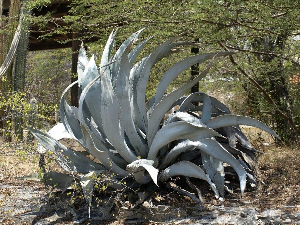 agave, plant, prickly-344982.jpg