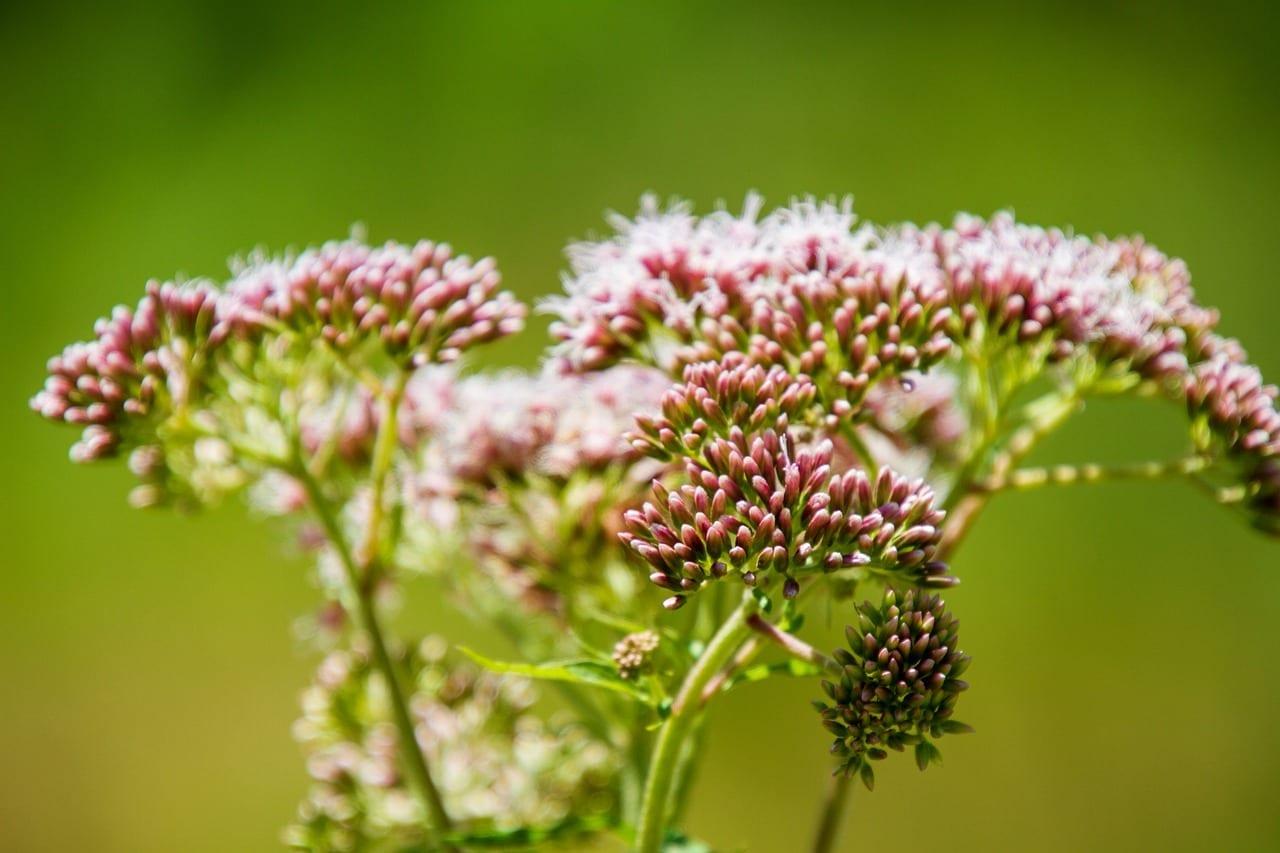 flower, swamp milkweed, asclepias incarnata-4497772.jpg