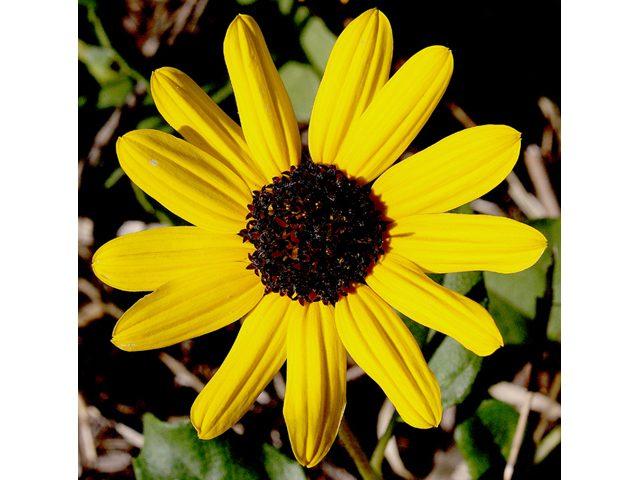 Helianthus debilis Dune Sunflower