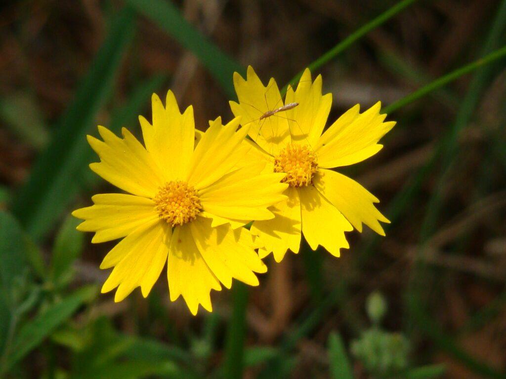 Coreopsis_lanceolata Lanceleaf Tickseed