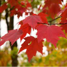Acer rubrum Red Maple