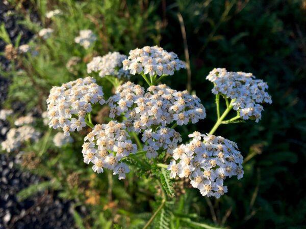 yarrow, medicinal herbs, flora-3699609.jpg